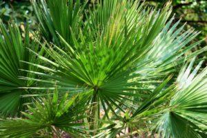 slika pokazuje sabal palmu